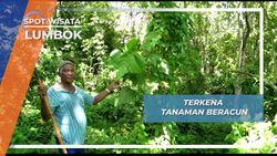 Daun Jelatong, Tanaman Beracun yang Menimbulkan Rasa Perih, Lumbok Lampung Barat