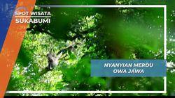 Owa Jawa, Sang Biduan Alam Satwa Endemik Pulau Jawa, Sukabumi