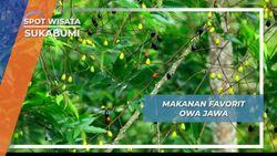 Buah yang Mengandung Getah, Makanan Favorit Owa Jawa, Sukabumi