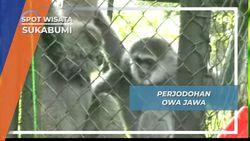 Perjodohan Owa Jawa, Menanam Bibit Cinta Sang Primata Monogami, Sukabumi