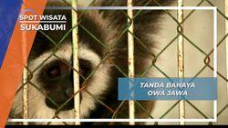 Mengintai Tajam, Insting Induk Owa Jawa Melindungi Sang Buah Hati, Sukabumi