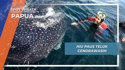 Berinteraksi Dengan Hiu Paus Teluk Cendrawasih Papua