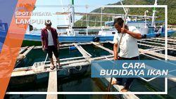 Budidaya Ikan Kerapu ala Masyarakat Pesisir Lampung