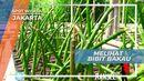 Bibit Bakau Hutan Mangrove Muara Angke Jakarta
