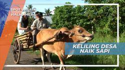 Serunya Berkeliling Desa Naik Gerobak Sapi, Halmahera
