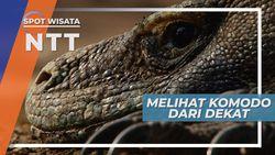 Sensasi Melihat Komodo dari Dekat, Nusa Tenggara Timur
