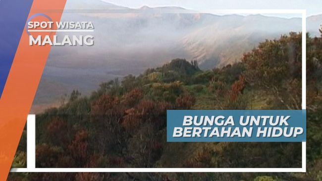 Pemburu Bunga Gunung, Bertahan Hidup Di Tengah Keindahan Alam Gunung Bromo
