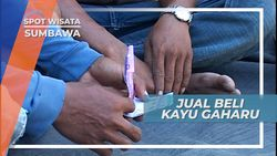Kayu Gaharu, Jual Rugi Si Kayu Harum Sumbawa