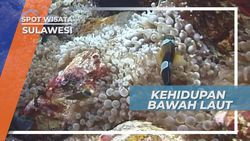 Mengagumi Ragam Kehidupan Bawah Laut Yang Indah di Gorontalo Sulawesi