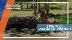 Karapan Kerbau, Permainan Rakyat yang Sangat Populer di Sumbawa
