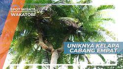 Uniknya Khasiat Enteng Jodoh Kelapa Cabang Empat di Pulau Kapota Wakatobi Sulawesi Tenggara