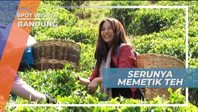 Keseruan Memetik Teh Bersama Para Petani Teh di Ciwidey Bandung