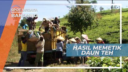Menimbang Teh Hasil Petikan di Kebun Teh Ciwidey Bandung