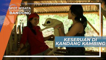 Bermain Dengan Kambing di Peternakan Kambing Lembang Bandung