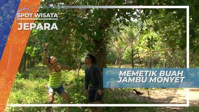 Serunya Memetik Jambu Monyet Langsung Dari Pohonnya, Jepara