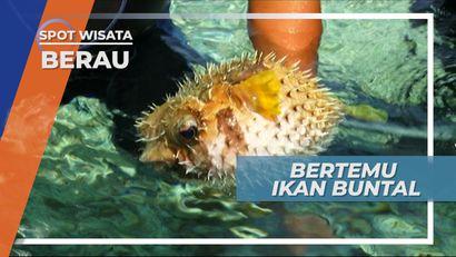 Melihat Dari Dekat Ikan Buntal di Pulau Kakaban Berau Kalimantan Timur