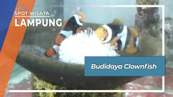 Budidaya Clownfish, Lampung