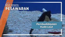 Pembudidayaan Kuda Laut, Lampung