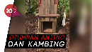 Melihat Box Trap untuk Menangkap Harimau Bonita