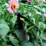Salah satu jenis kupu-kupu yang ditangkarkan di Taman Kupu-kupu, yaitu jenis Troides Helena. Warnanya hitam dan kuning menjadi salah satu jenis kupu-kupu yang mudah ditemui di taman ini.