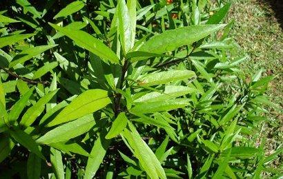 Herbal: Gandarusa