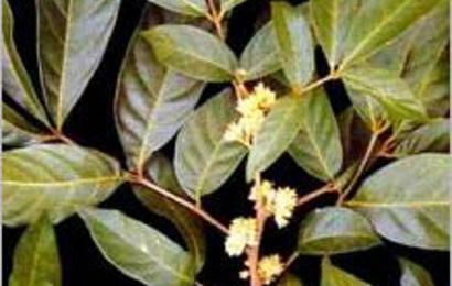 Herbal: Puama Muira