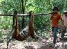 Harimau Sumatera yang mati tersebut berusia sekitar 1,5 tahun.