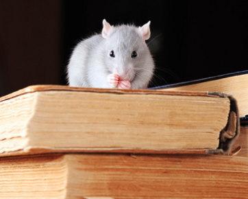 6 Cara Basmi Tikus dari Rumah Anda