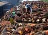 Beberapa pekerja menurunkan biji tandan buah segar (TBS) kelapa sawit dari atas truk di PTPN VIII Kertajaya, Banten.