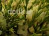 Harga bunga gradiul Rp 2500