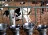 Anak sapi ditempatkan secara terpisah.