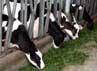 Pakan sapi harus berkualitas, di antaranya berasal dari rumput, pohon jagung, hingga makanan khusus yang diimpor dari Australia.