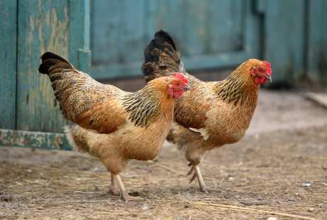 Ini yang Bikin Ayam Kampung Lebih Sehat Daripada Ayam Broiler
