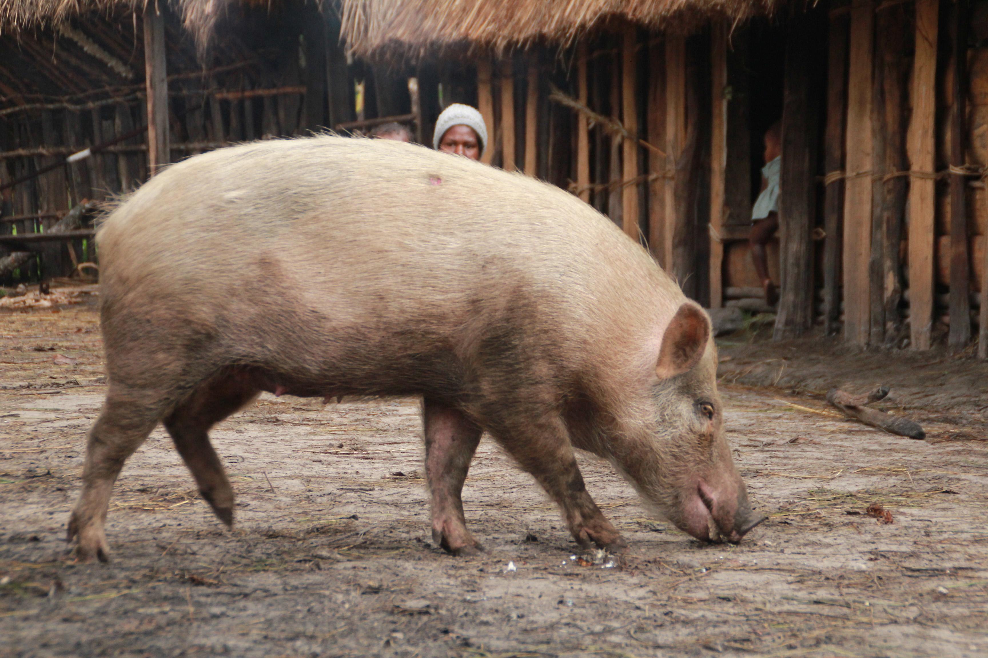 84 Gambar Babi Papua Paling Bagus