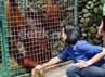 Putri Sulung Sri Sultan Hamengku Buwono X, GKR Pembayun memberikan buah durian pada orangutan yang dirawat di WRC sebelum dikembalikan ke habitatnya.