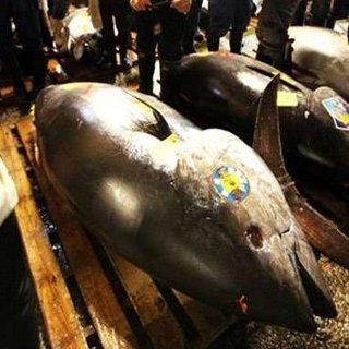 Tangkapan Tuna Nelayan Meningkat 80% Karena Kebijakan Menteri Susi