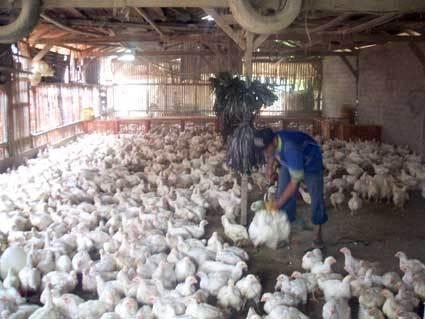 Peternak Heran Harga Ayam Di Pasar Melonjak Hingga Rp 40000 Kg