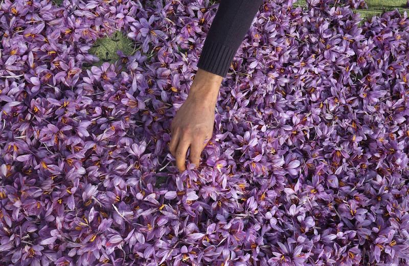 Saffron, Pewarna Makanan Termahal di Dunia Dihargai Rp 270 Juta per Kg!