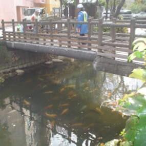 Ikan Koi Bebas Berkeliaran di Sungai