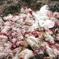 Cegah Flu Burung, Pasar Unggas Denpasar Disemprot Disinfektan