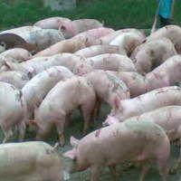 Pakar : Ada Kemungkinan Flu Babi Hasil Koalisi Tiga Virus