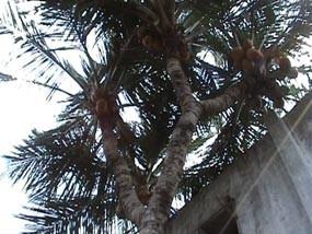 Pohon Kelapa Bercabang 9 Diyakini Berkaromah