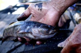 Unduh 640 Koleksi Gambar Ikan Betutu HD Terpopuler