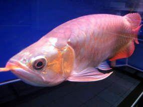 Ekspor Ikan Hias Indonesia Masih Kalah Dari Malaysia Singapura