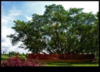 Pohon cinta di Pulau Kemaro