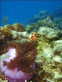 Clown fish atau biasa yang dikenal dengan Nemo.