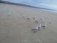 kumpulan camar di Aldinga Beach