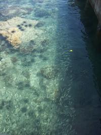 Bulu babi yang bersahabat dengan ikan-ikan kecil di Pulau Bira Kecil