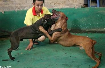 Diadu Untuk Judi 300 Anjing Pitbull Diselamatkan Polisi
