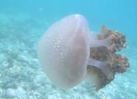 Ubur-ubur (sumber: aureliaauritapintar.blogspot.com)